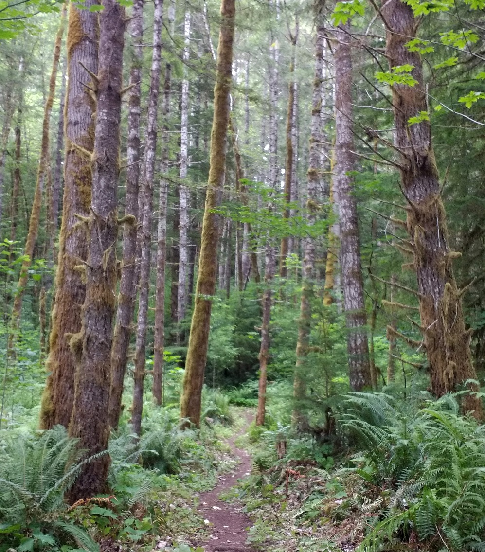 Trail through tall mixed conifers.