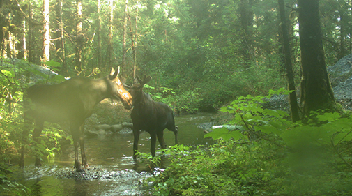 Yakutat Ghost Culvert with two moose standing in the stream
