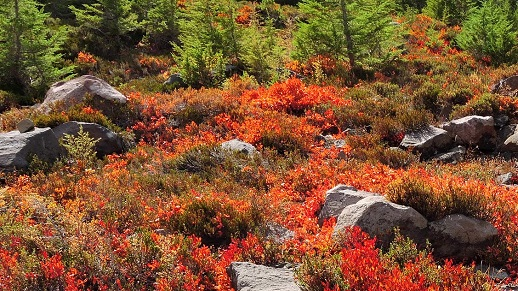 Image of bright red huckleberry plants in fall in a meadow.