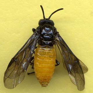 Photograph of an adult female larch sawfly specimen