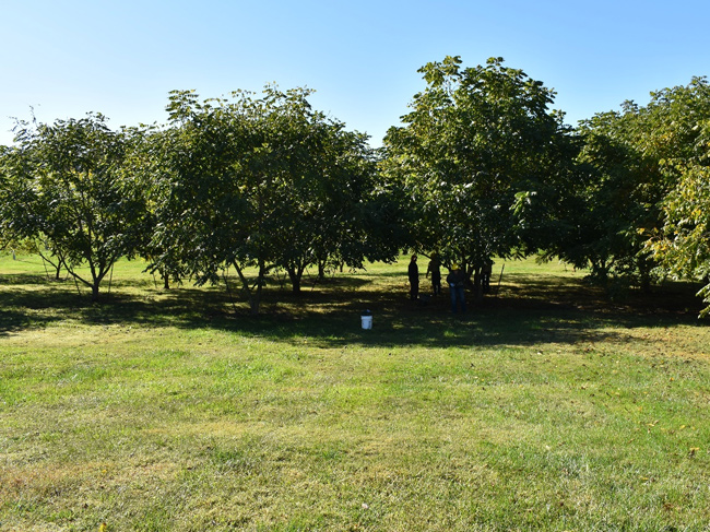 The butternut seed orchard on OFS Brands property in Huntingburg, Indiana.