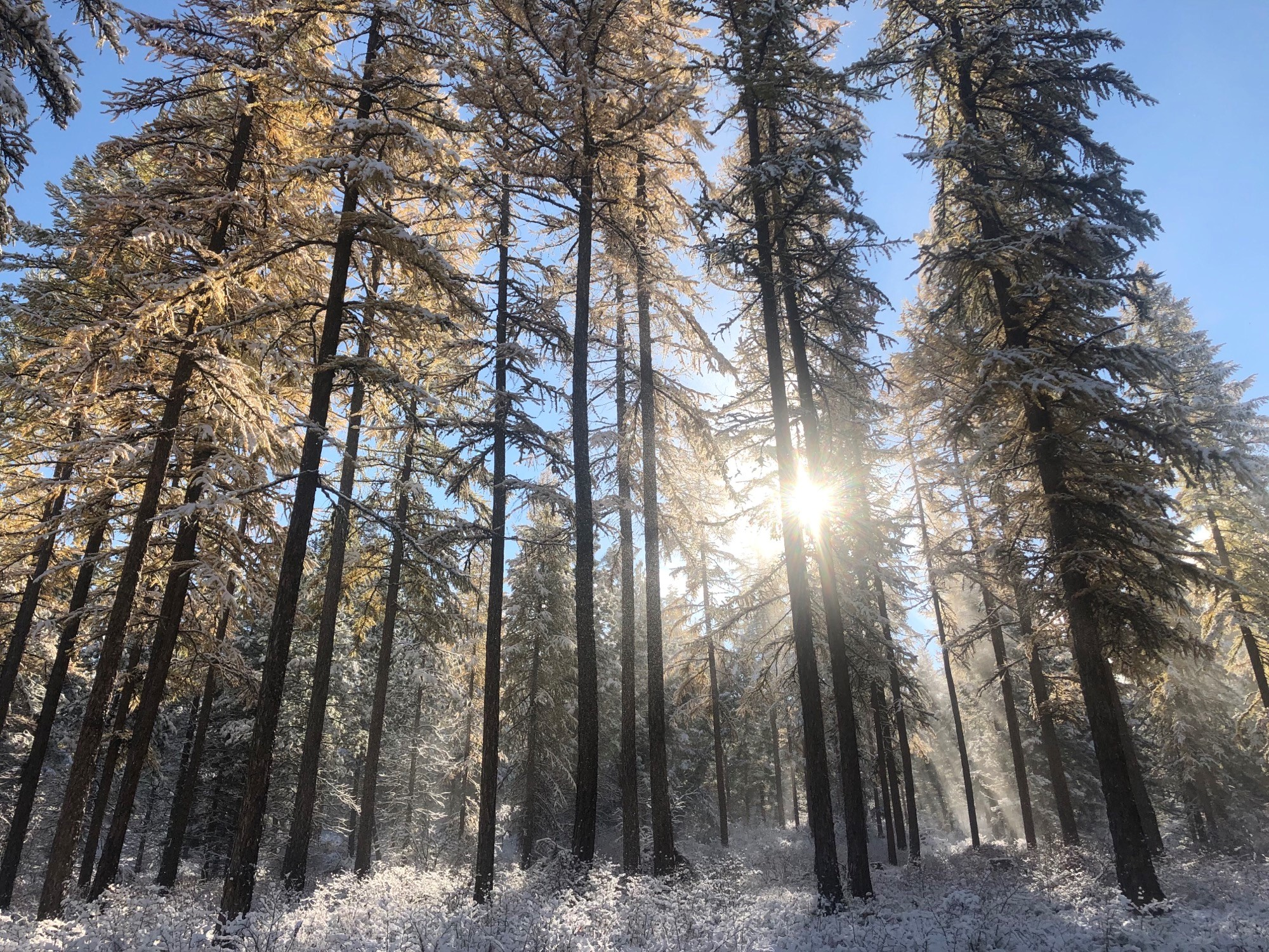 Larch trees and forest floor covered in frost in Pattee Canyon