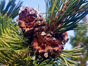Thumbnail image of whitebark pinecones
