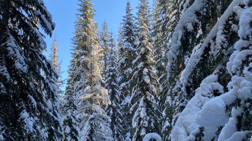 Image of snow covered evergreen trees.