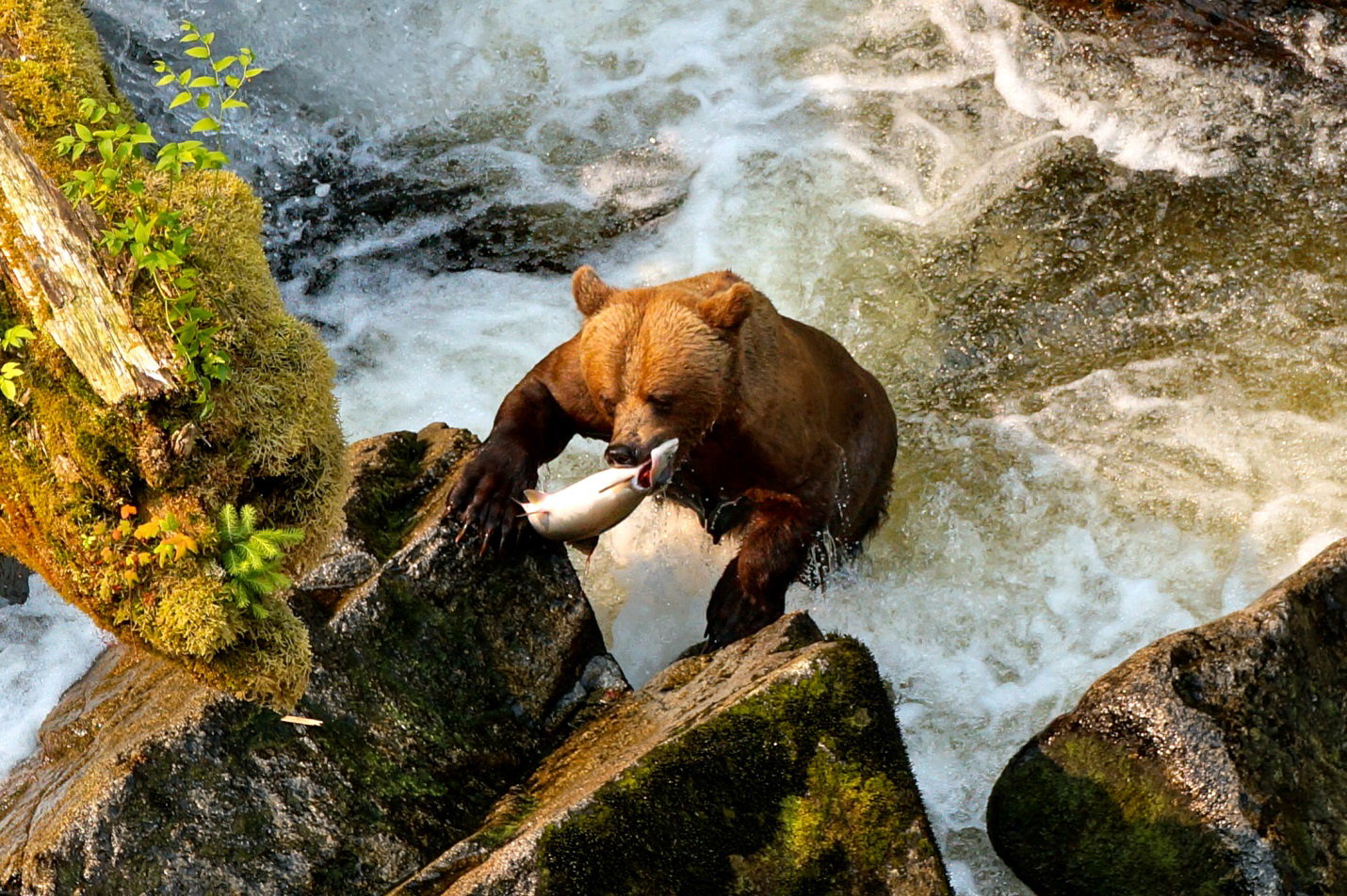 Anan Bear With Fish Climbing out of the water onto the rocks