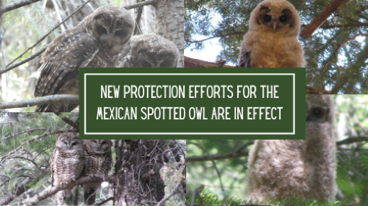 New protection efforts for the Mexican Spotted Owl are in effect