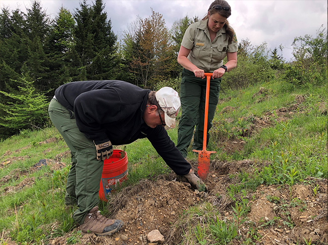 Forest Service employees plant a red spruce seedling on the Mower Tract