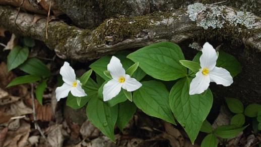 Trillium flowers bright against brown leaves and downed wood