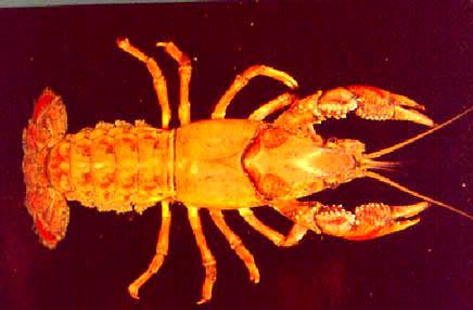 [Picture]:  Procambarus curdi Reimer