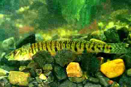 [Picture]: Side view of a Logperch darter