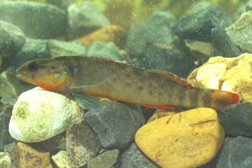 [Picture]: The Orangebelly darter.