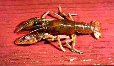 [Picture]:  Procambarus reimeri Hobbs