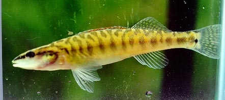 [Picture]: The Ouachita Darter side view