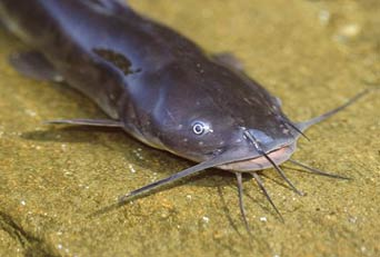 [Photo]: Brown Bullhead Catfish