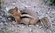 Color photo of a Golden Mantled Squirrel on the rocky ground.