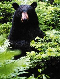 [Photo]: Color photo of a Black Bear peering through the branches of green conifer trees and a large green fern.