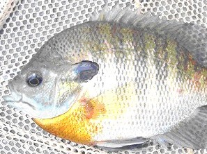 [Photo]: Bluegill