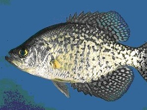 [Photo]: Black Crappie