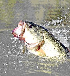 [Photo]: Largemouth Bass