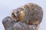 [Photo]: Color photo of a yawning Yellow-Bellied Marmot sitting on a rock.