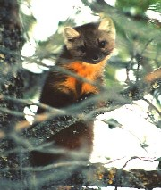 [Photo]:  Color photo of an American Marten perched on a branch in a conifer tree.