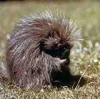 [Photo]: Color photo of a Porcupine grooming itself while sitting in a meadow.