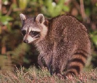 [Photo]: Color photo of a Raccoon on the prowl.