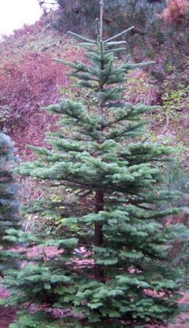 Oregon Christmas Trees.Mt Hood National Forest Forest Products Permits