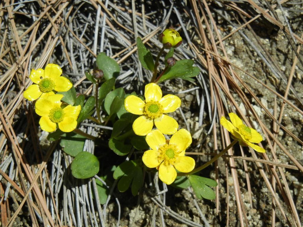 Celebrating Wildflowers - Sagebrush Buttercup - by Edna Vizgirdas