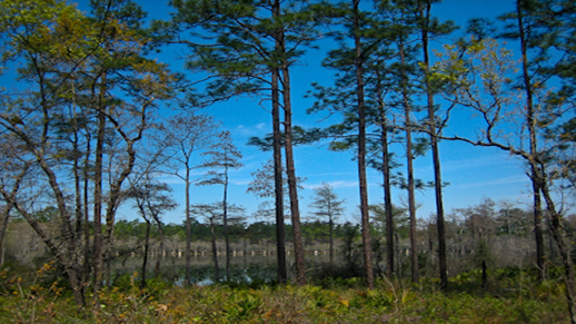 Visit the Apalachicola National Forest