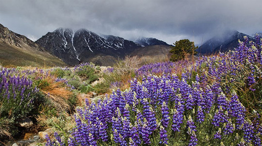 Lupine in bloom at Division Creek