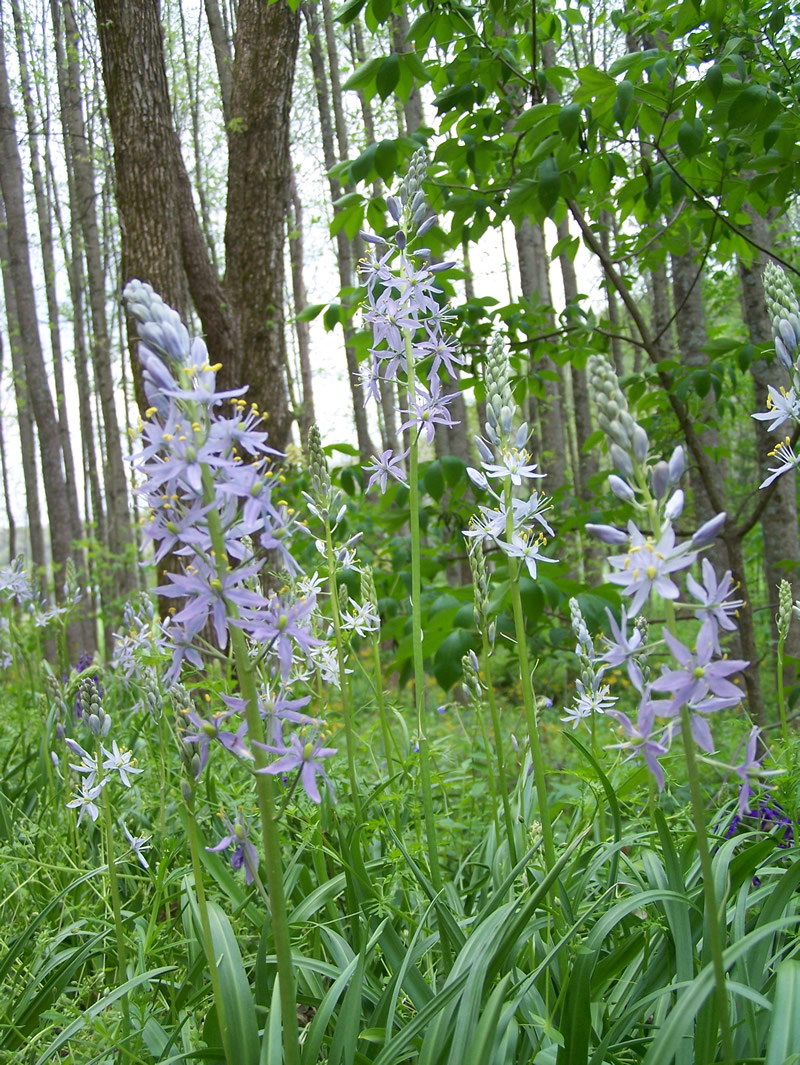 Wild hyacinth at Hoosier National Forest Charles Deam Wilderness