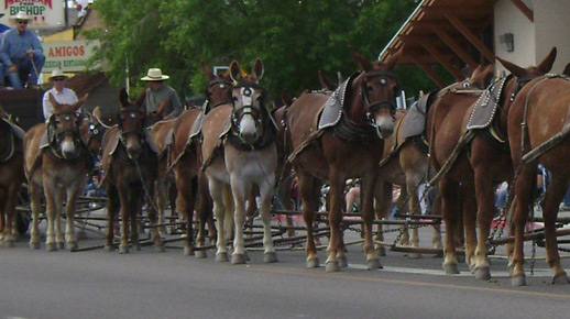 image of 20 mule team pulling a wagon in Bishop Mule Days Parade.