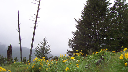 Arrowleaf Balsamroot Near Benchmark