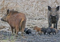Two feral hogs and piglets
