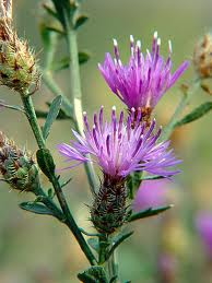Flowering knapweed