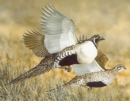 Idaho Greater Sage-Grouse Flying