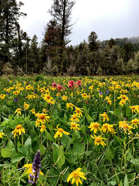 Picture of Wildflowers on the Helena National Forest: Arnica, Indian Paintbrush, and Bluebells