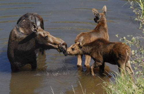 Photo of a moose family standing in water