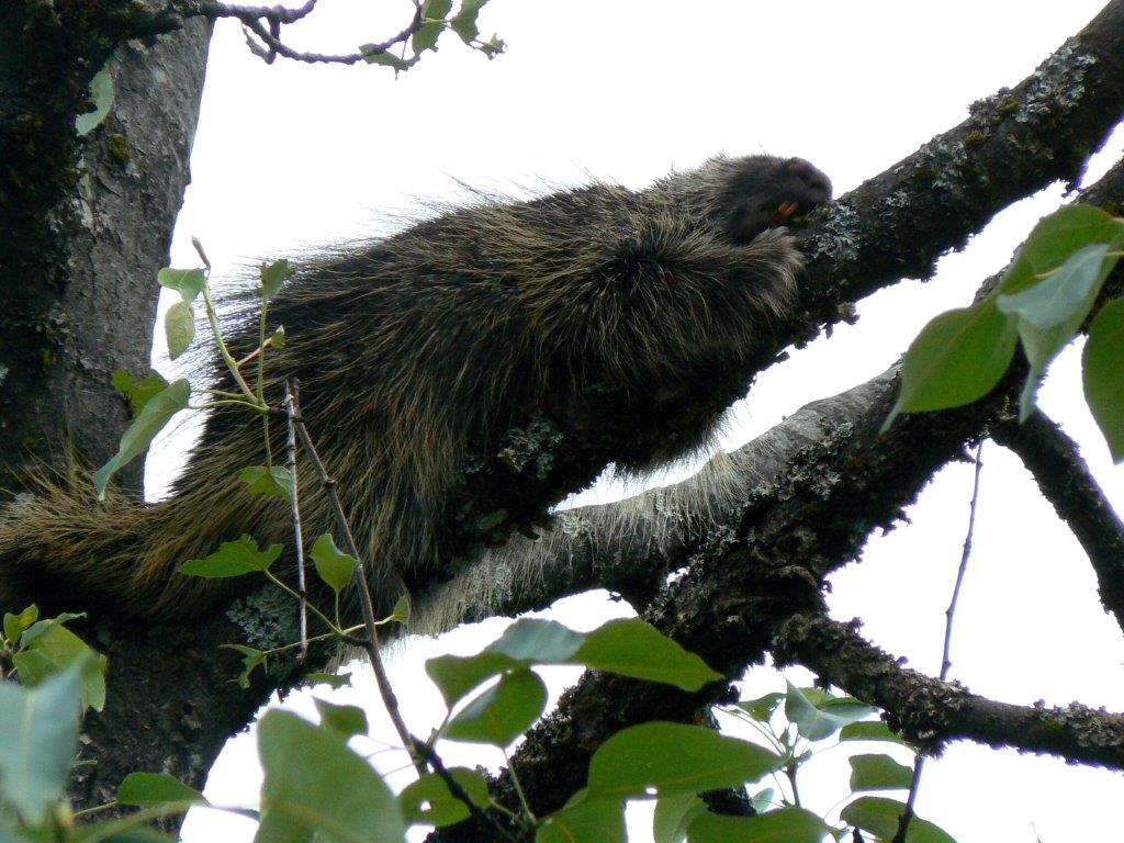 Snoozing Porcupine at Steep Creek Mendenhall