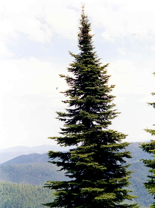 This photo show a sub-alpine fir whisch is the only species allowed to be - Uinta-Wasatch-Cache National Forest - News & Events