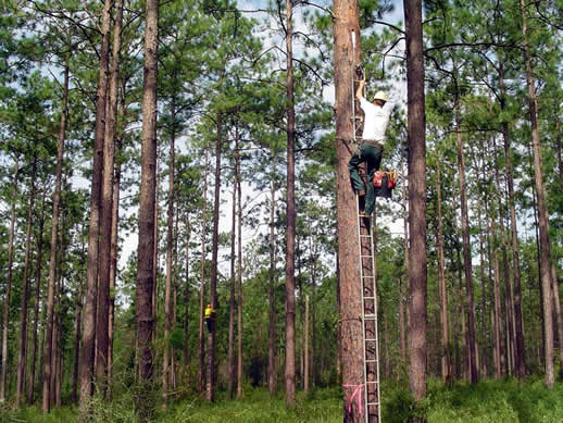 Biologist climbing trees to relocate red-cockaded woodpeckers