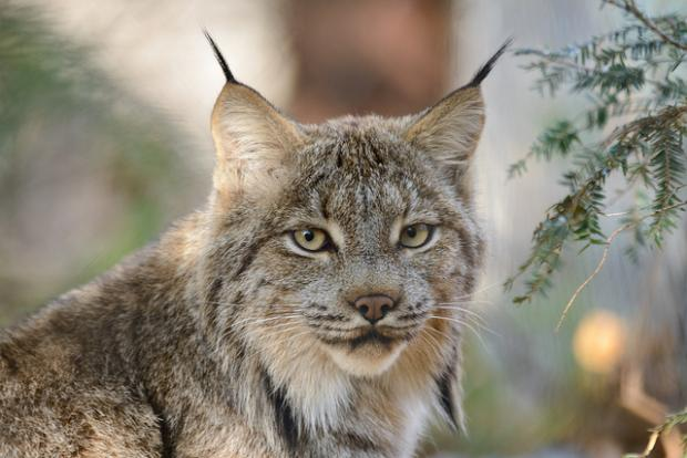 photo of a close up of lynx head