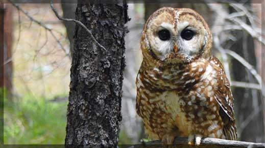 Threatened Mexican spotted owl at home on the Prescott National Forest