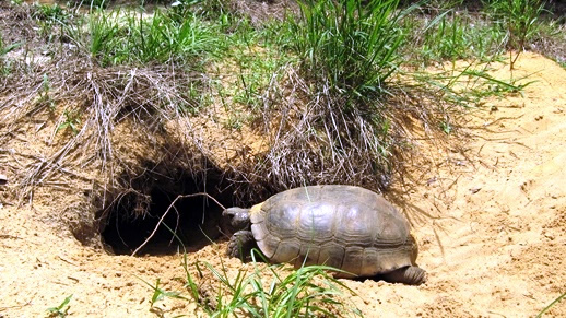Gopher tortoises occupy upland habitats throughout Florida including forests, pastures, and yards.