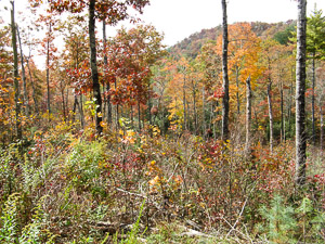 Open forest in fall color provides improved habitat for ruffed grouse and other wildlife.