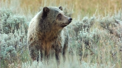 Store your food properly, Grizzly Bears frequent the Forest