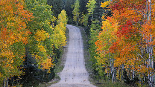 Colorful Aspen trees on Forest Road 612, North Kaibab R.D.