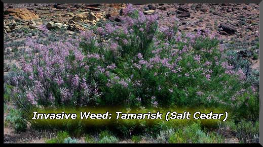Weed-of-the-Quarter for April through June is Tamarix