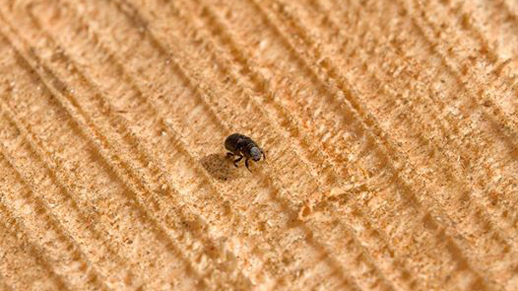 mountain pine beetle on timber